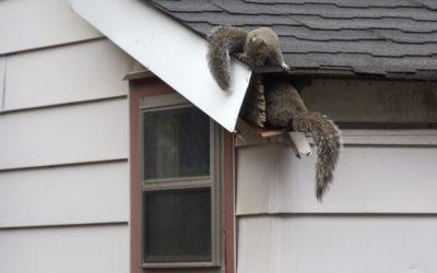 Squirrel Removal Montgomery, AL